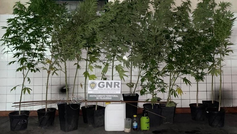 cannabis pacos de ferreira 1